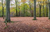 Stately Old Oak Trees In The Autumn Forest