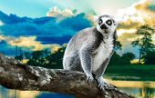 Ring-Tailed Lemur (Lemur Catta) in the nature