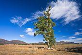 Cazneaux Tree, South Australia