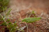 picture of locusts  - An Australian locust against red dirt background - JPG