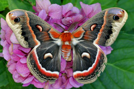 picture of moth  - The beautiful giant silk moth butterfly called Cecropia Moth - JPG