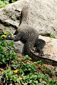 picture of monitor lizard  - water monitor live habitat where is water lake and river  - JPG
