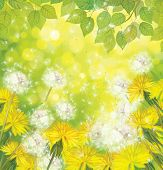 picture of dandelion  - Spring  sunny green background with yellow  and white dandelions and green leaves border - JPG