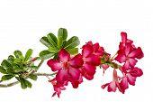 image of desert-rose  - Close - JPG