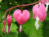 picture of broken heart flower  - Ditsentra magnificent, or Broken Heart (Dicentra spectabilis), family Fumariaceae  - JPG