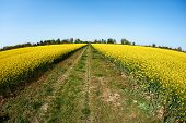 foto of rape-seed  - Rape field and country road photographed with a fisheye lens - JPG