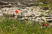 picture of crimea  - The beautiful red poppies flowers in Chersonesos in Crimea - JPG