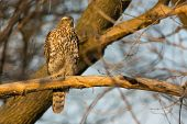picture of goshawk  - Juvenile Northern Goshawk perched on a branch at the end of the day. ** Note: Visible grain at 100%, best at smaller sizes - JPG