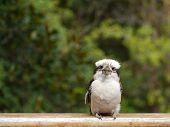picture of kookaburra  - The Laughing Kookaburra  - JPG