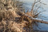 stock photo of beaver  - beaver tree fallen on the shore of the lake covered with ice cold - JPG
