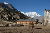 picture of mule  - Grazing mule in Manang distant view of Tilicho Peak - JPG