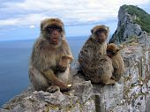 Family of monkeys, Barbary Macaques, sitting in stones, at the Gibraltar Rock
