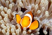 image of clowns  - Clown Anemonefish Amphiprion percula swimming among the tentacles of its anemone home - JPG