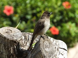 picture of bulbul  - Common Bulbul perched on top of tree stump