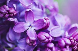 stock photo of violet flower  - Macro image of spring lilac violet flowers - JPG