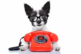 stock photo of secretary  - black terrier dog with glasses as secretary or operator with red old dial telephone or retro classic phone - JPG
