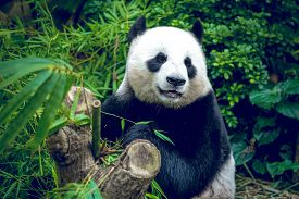 foto of panda  - Hungry giant panda bear eating bamboo - JPG