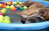 pic of kiddy  - a greyhound dog takes a nap on a hot summer day in a kiddie pool with tennis balls in plano texas - JPG