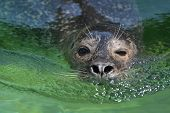 stock photo of sea lion  - A sea lion swimming in the clear green water - JPG
