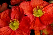 Closeup Of Red Poppies