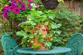 stock photo of strawberry plant  - Strawberry plant in a terracotta pot on a garden table - JPG