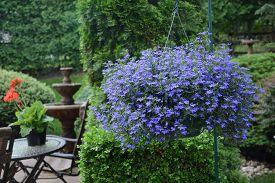 picture of lobelia  - Flowering lobelia in hanging outdoor planters - JPG