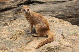 picture of meerkats  - Yellow mongoose  - JPG
