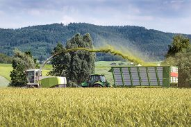stock photo of biogas  - Forage harvester with chopped material transporter during harvesting of grain as whole crop silage for biogas production