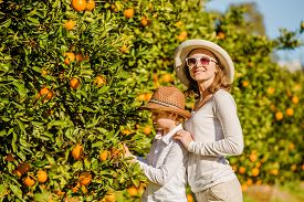 picture of mandarin orange  - Smiling happy mother and son harvesting oranges and mandarins at citrus farm - JPG
