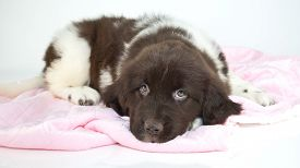 stock photo of newfoundland puppy  - Sweet Newfoundland puppy looking sleepy laying on a pink blanket with a white background - JPG