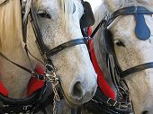 stock photo of blinders  - Two horsepower - JPG