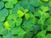 Green background with three-leaved shamrocks. St.Patricks day holiday symbol. selective focus poster