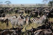 Zebra'S Among A Migarting Herd Of Wildebeest