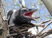 Young Crow 2