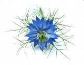 Nigella damascena on white background