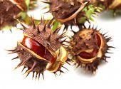 chestnut berries