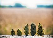Detail of assorted dried cannabis buds in a line over natural landscape - medical marijuana concept  poster