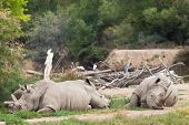 rhinoceros group laying in nature