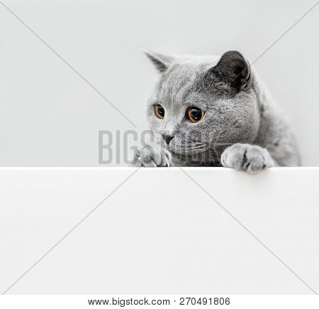 poster of Cute playful grey cat leaning out. Domestic animals. British shorthair cat.