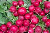 Freshly Harvest Red Purple Colourful Radish.growing Radish Vegetable Background.fresh Red Organic Ra poster