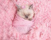 newborn british fluffy kitten sleeps on pink fur poster