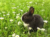 stock photo of cony  - Bunny rabbit black and white - JPG