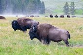 The Herd Bison In Yellowstone National Park, Wyoming. Usa.  The Yellowstone Park Bison Herd In Yello poster