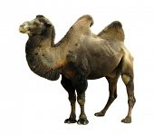 stock photo of hump  - Camel with two humps Bactrian camel - JPG