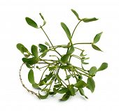 Mistletoe foliage branch