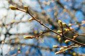 Beautiful Linden Branches With Flowering Buds Close-up In Spring Time. Picturesque Macro Photography poster
