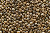 Organic Hemp Seed. Hemp Seeds Background In Macro. Close Up. Many Cannabis Seeds. Macro Detail Of Ma poster