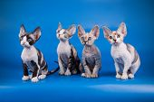 American Shorthair Cat On Colored Backgrounds poster