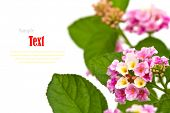 Beautiful flower (Lantana camara) isolated on white background.