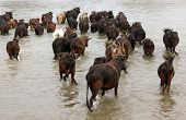 buffalo herd crossing river in Chitwan national park, Nepal